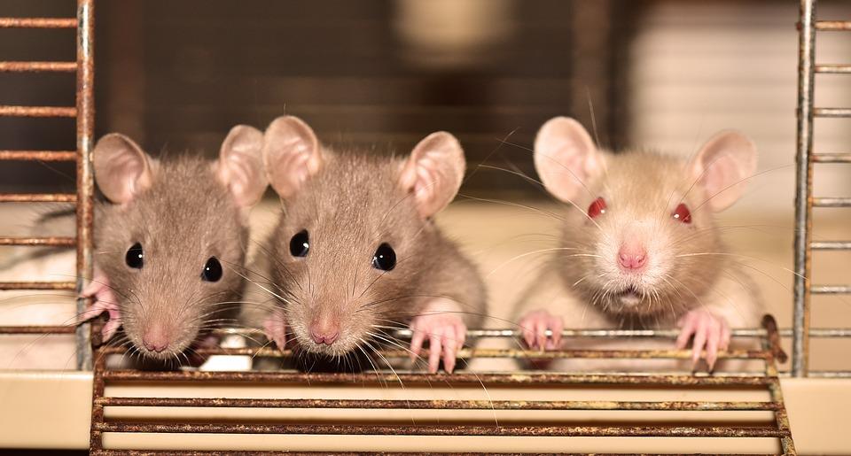 La mort-aux-rats